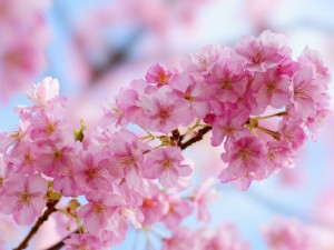 sakura 桜 卒業式