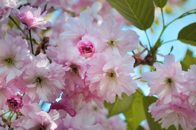 flower-blossoms-pink (1)